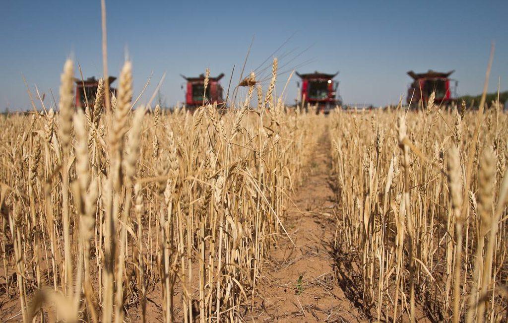 В Волгоградской области уже убрано 425 тысяч гектаров — 27% площадей под ранними зерновыми культурами.